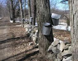 Maple Trees with Buckets